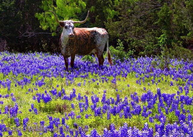Longhorns lambang kebanggan UT Austin