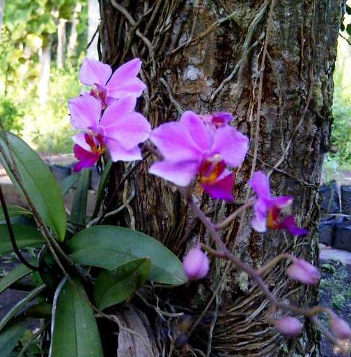 Angrek cantik yg nempel di pohon mangga ini termasuk jarang berbunga