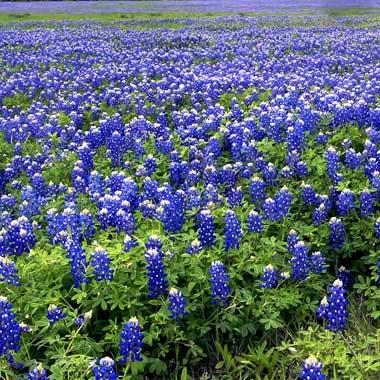 Texas bluebonnet,keren..!