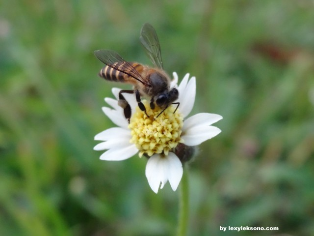 beautiful little flower & its visitor, a honey bee