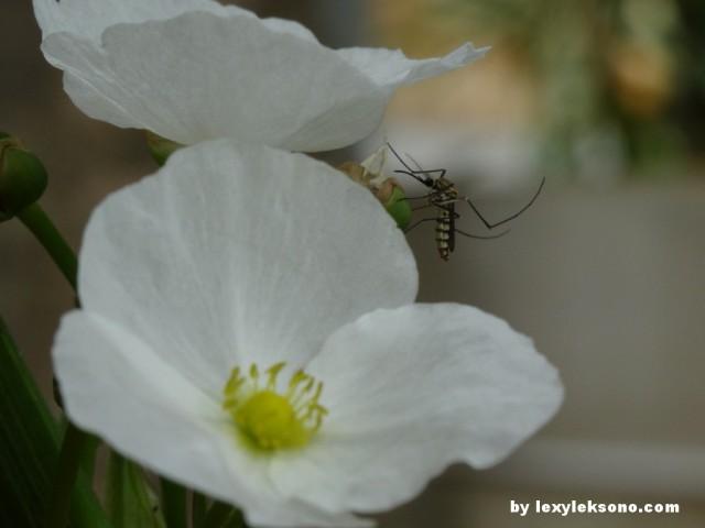 Nyamuk raksasa