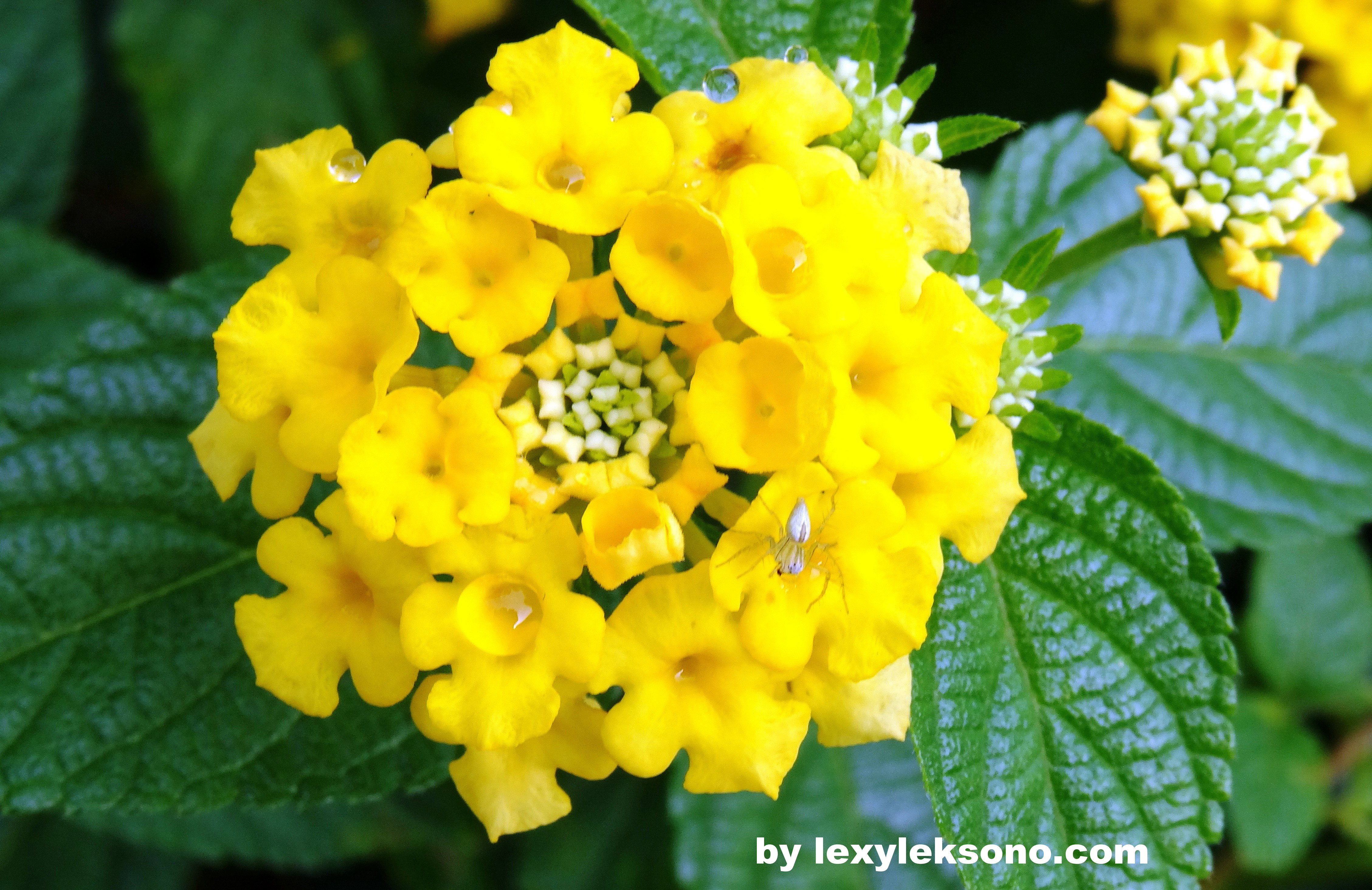Photography A Little Spider And The Yellow Flower Lexyleksono