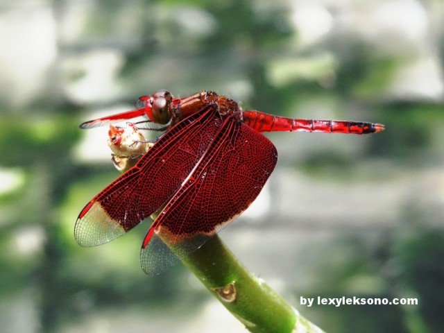 a beautiful red color dragonfly