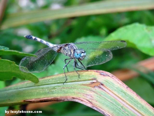 "a ""titik-iyek"" small dragonfly, abaut 5cm long (head to tail)"