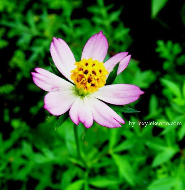 Kenikir flower