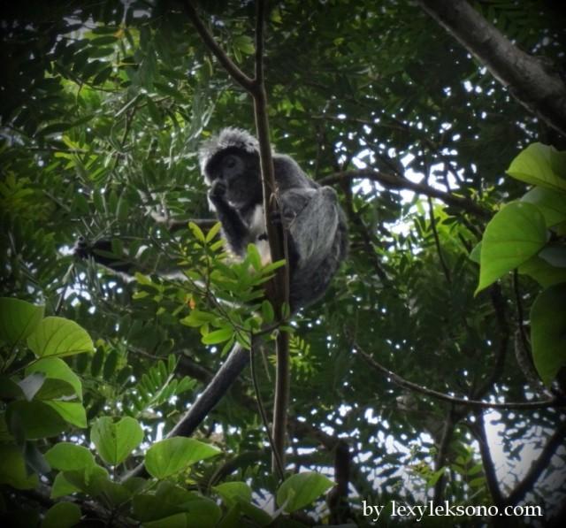 black monkey (lutung / budheng)