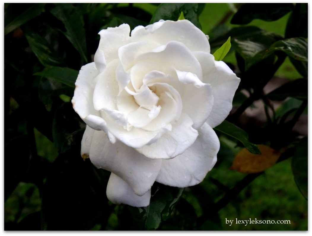 Photography Beautiful White Flower Lexyleksono