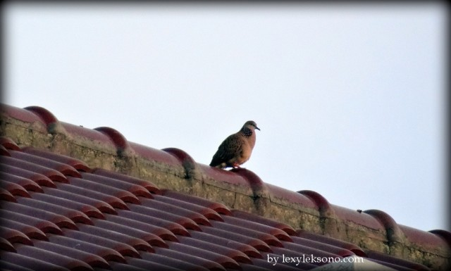 Burung tekukur (mourning dove)
