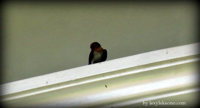 Swallow resting for a while