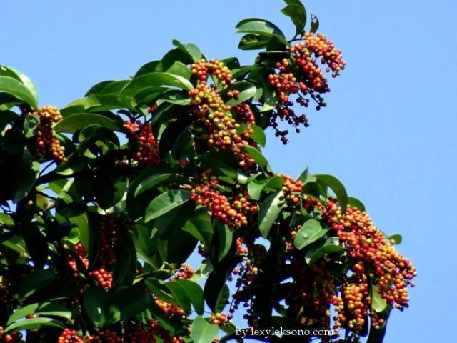 Buni fruit. Plenty of them for the birds to feast.