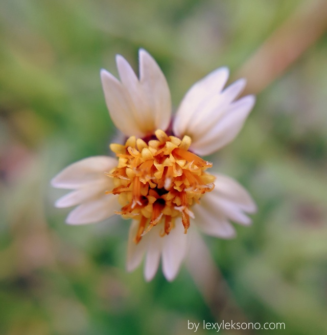 we can find this flower almost every where, the size is so small that we often leave it unnoticed.