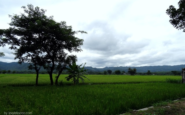 Rice paddy field in Gunung Kidul region
