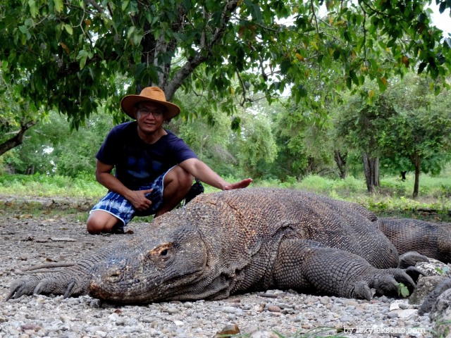 Do not try this without a ranger around. Komodo is a wild and very dangerous lizard.