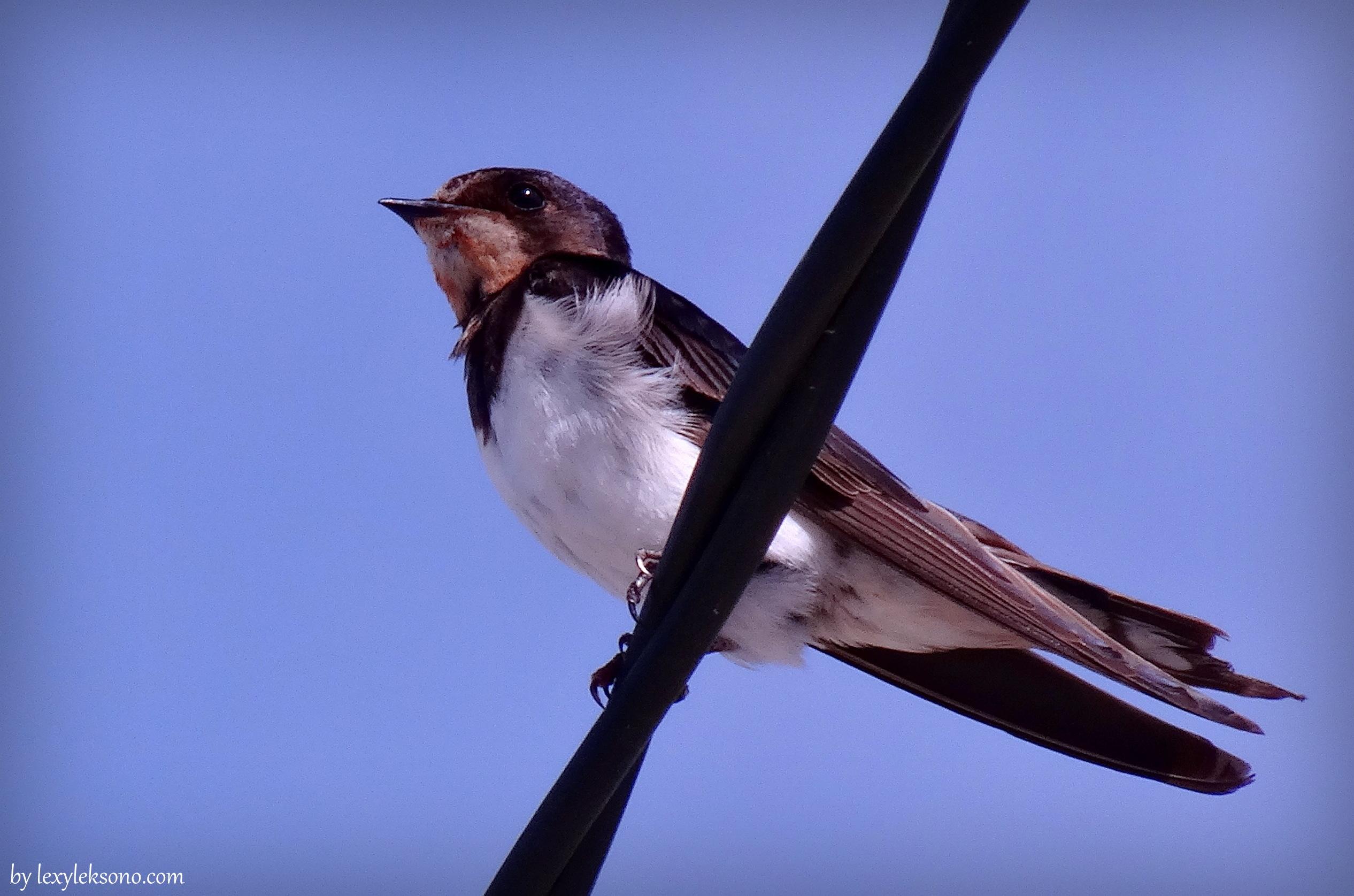 Memotret Burung Sriti Bird Photography Lexyleksono