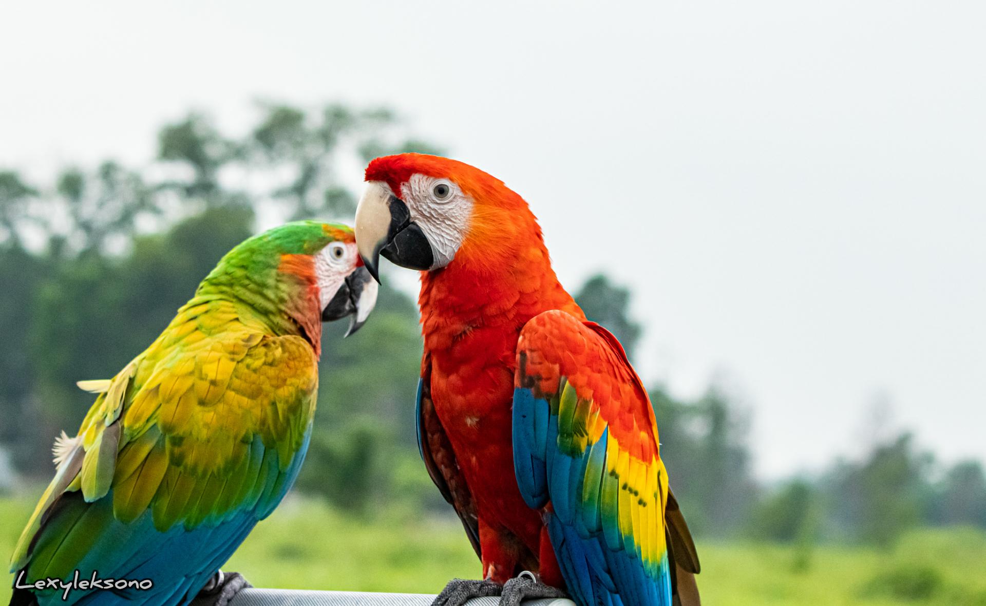 Burung Macaw Yang Menawan Lexyleksono